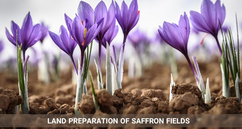 land preparation saffron