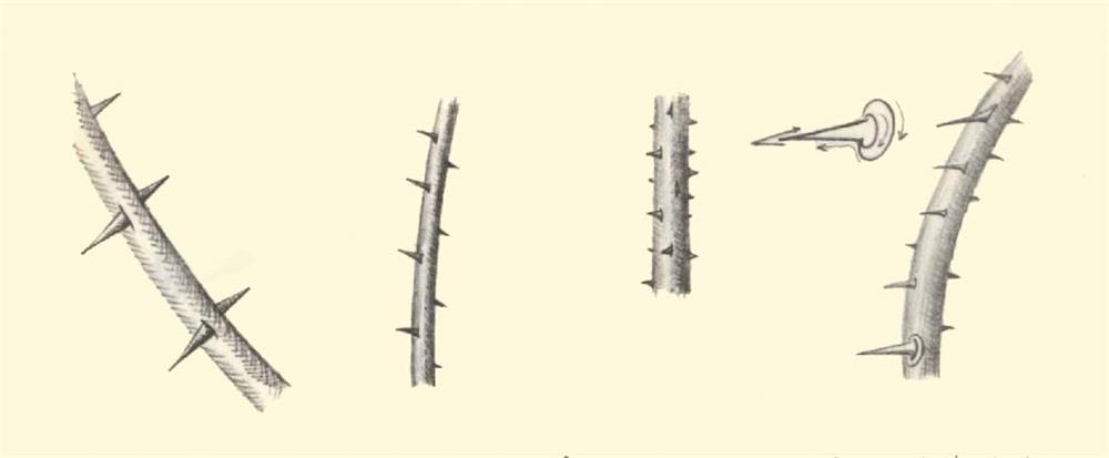آموزش طراحی و نقاشی گل رز (خارهای راست ساقه گل)