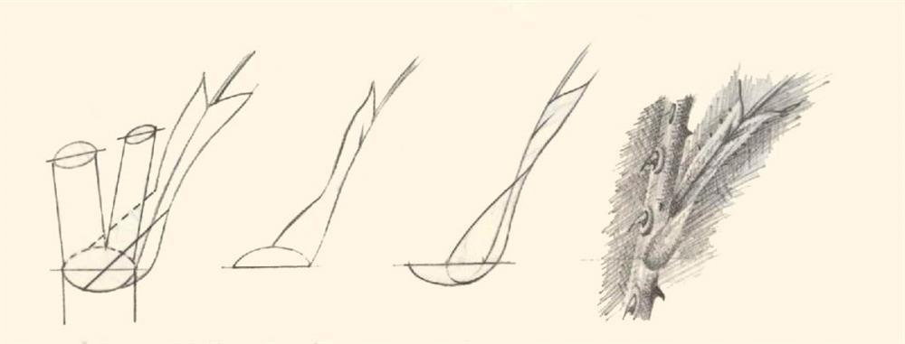 در این تصویر محل رویش و نمای جانبی این اندام روی ساقه گل رز نشان داده شده است.