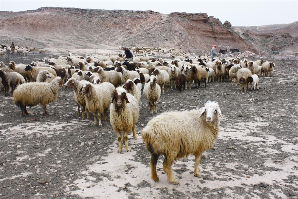 گوسفند زنده نژاد سنگسری